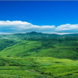 tea plantation-min